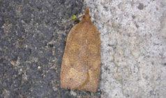Green headed leaf roller