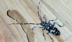 citrus longhorned beetle