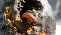 Avacado seed moth