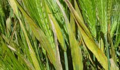 Barley stripe rust