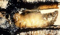 Sacbrood virus