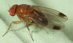 Spotted winged drosophila
